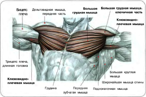 какие мышцы работают при отжимании