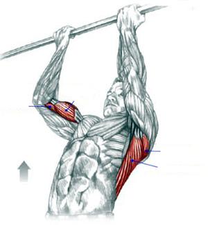Какие мышцы работают при подтягивании на турнике