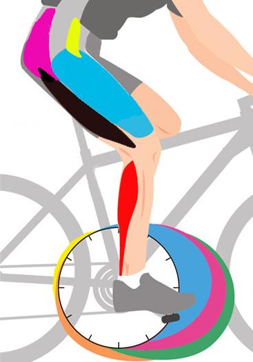 какие мышцы работают на велосипеде