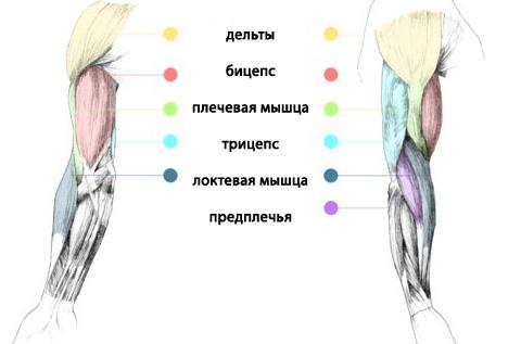 Накачать плечевую мышцу в домашних условиях