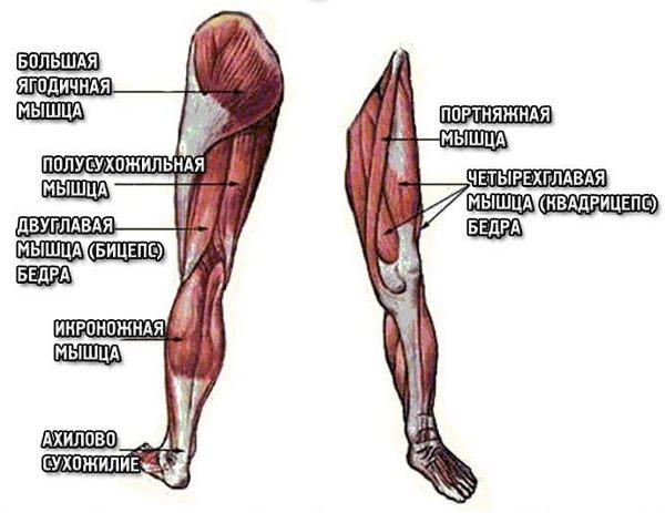 анатомия бедра и голени