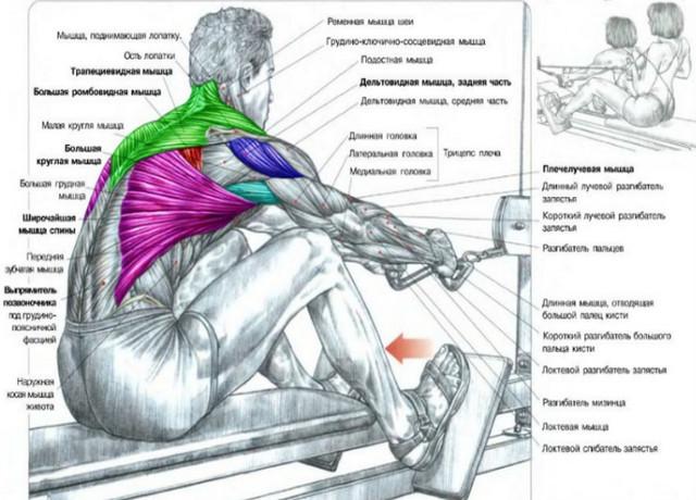Раскладка мышц