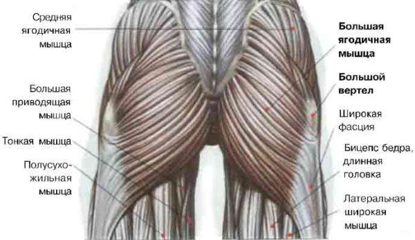 ягодичные мышцы анатомия