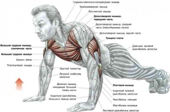 Мышцы, которые задействованы при отжимани