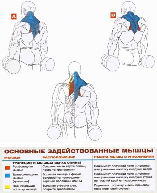 Какие мышцы задействованы во время выполнения шраг с гантелями