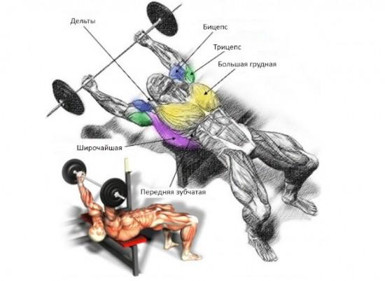 Мышцы, которые задействованы при выполнении упражнения