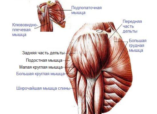 Основные рабочие мышцы