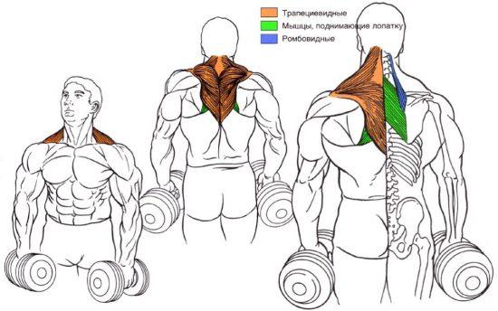 Рабочие мышцы при шраги