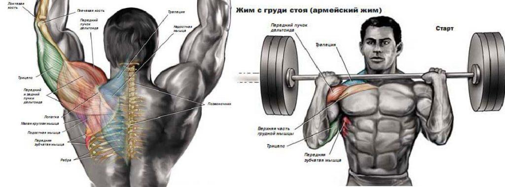 Основные рабочие мышцы в упражнении армейский жим стоя