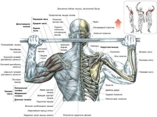 рабочие мышцы при жиме из-за головы